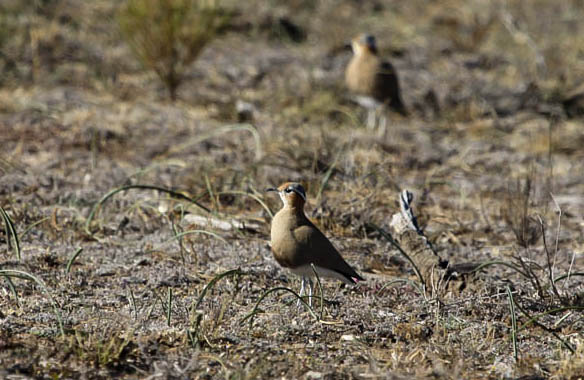 Burchell's Courser, photo by Ellis Simpson