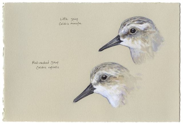 Little Stint and Red-necked Stint heads by Catherine Hamilton