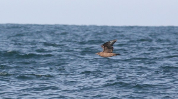 Great Skua, the guest of honor, off Hatteras, NC - photo by Nate Swick