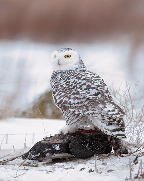 These Snowies have been seen taking rodents and some birds, and also doing some scavenging. The owl pictured here was scavenging a dead Common Loon at Presque Isle, PA.  (Photo Geoff © Malosh)