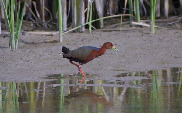 The famous Bosque Rufous-necked Wood-Rail, photo by Jeff Gordon