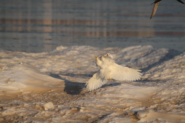 Another one from Montrose Beach in Chicago, taking a defensive posture against a diving Peregrine Falcon.