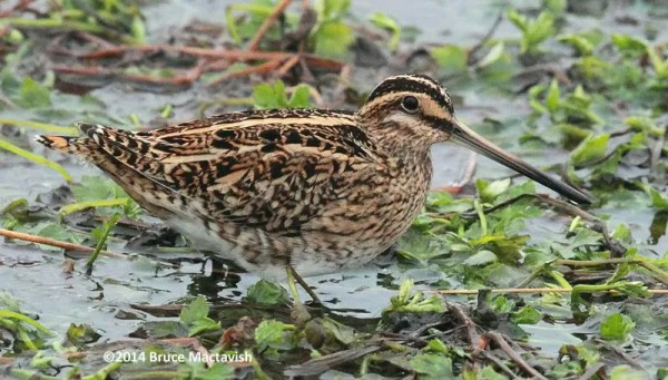 Common Snipe at Ferryland, Newfoundland