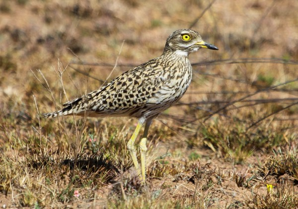 Spotted Thick-knee, photo by Elis Simpson