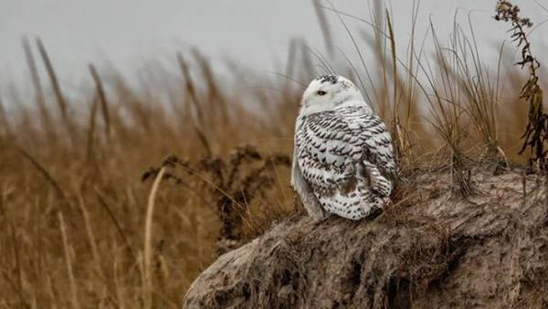 Snowy Owl in Essex Co, MA. Photo by Christopher Ciconne