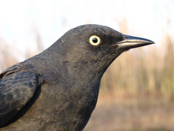 An adult female Rusty Blackbird. Photo: Seabrooke Leckie on Flickr. Used under the Creative Commons license.