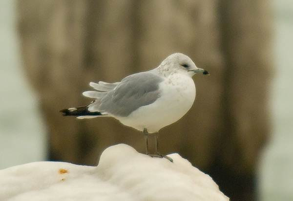 That Ring-billed Gull.