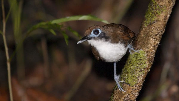 Bicolored Antbird, photo by Zak Pohlen via flickr