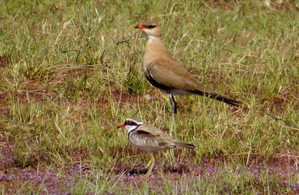 Black-fronted Dotterel w/ Australian Pratincole, photo by Elis Simpson