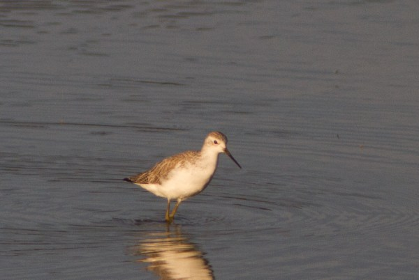 Marsh Sandpiper sp14f