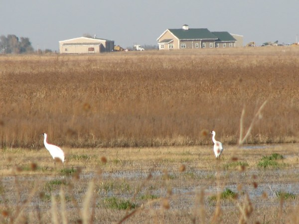 Whooping Cranes at Funk Lagoon Waterfowl Production Area in Nebraska. (The buildings in the background are the U.S. Fish and Wildlife Service's Rainwater Basin Wetland Management District headquarters). Photo by Ronnie Sanchez.