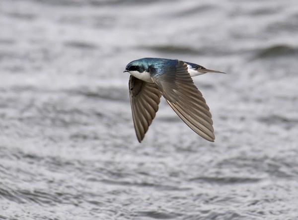 Tree Swallow flying into a gale, Jackson County, Colorado, April 2009.  Photo ©Bill Schmoker