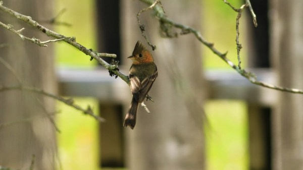 The ABA's 7th record of Tufted Flycatcher was, thus far, a one-day wonder, in Kleberg County, Texas, this week. Photo by Jim Ziegler