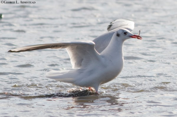 I did not string this Black-headed Gull either, and it was in the ABA area at Prime Hook, DE. (Photo © G. Armistead)