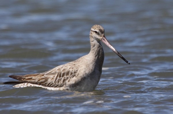 Bar-tailed Godwit, photo by Elis Simpson