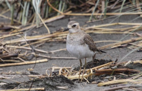 Oriental Plover, photo by Elis Simpson