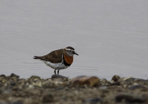 Rufous-chested Dotteral, photo by Elis Simpson