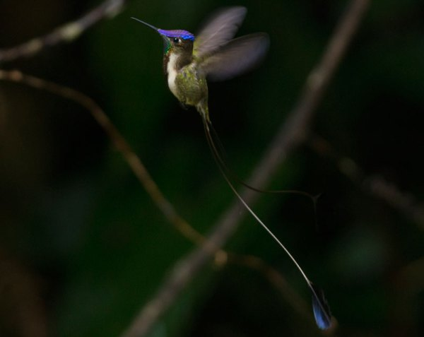 It's hard to believe the Marvelous Spatuletail really exists, even while you're looking at one. Photo by Alfredo Fernandez.