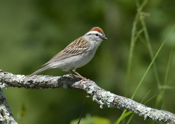Chipping Sparrow, Burnett County, Wisconsin, 21 June 2014.  Photo © Bill Schmoker