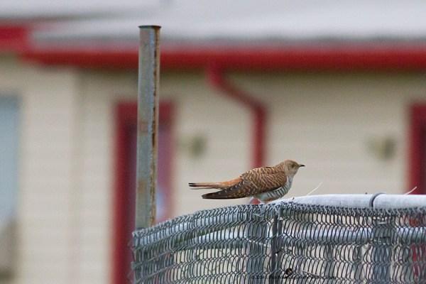 Hepatic morph Common Cuckoo