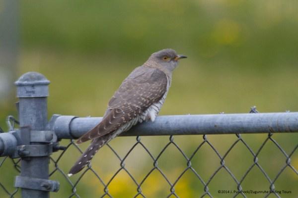 Gray morph Common Cuckoo