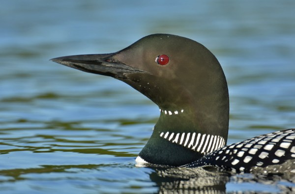 Pictured:  Critter in NW Wisconsin.  Common Loon, Burnett County, Wisconsin, 21 June 2014.  Photo © Bill Schmoker