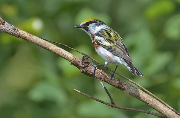 Chestnut-sided Warbler with what appears to be a strand of black bear fur, Burnett County, WI, 21 June 2014.  Photo © Bill Schmoker