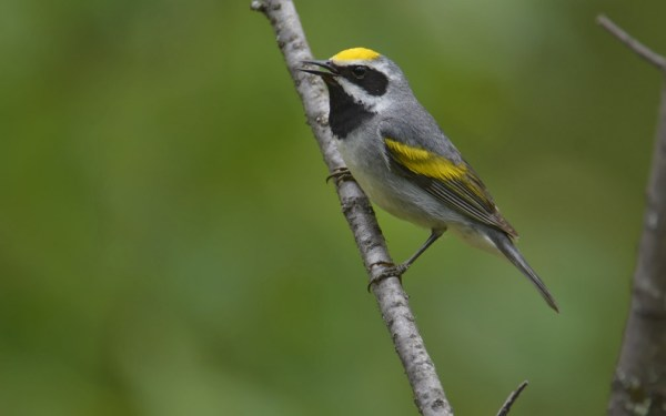 Golden-winged Warbler, Burnett County, Wisconsin, 12 June 2014.  Photo © Bill Schmoker
