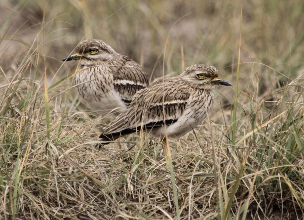 Indian Thick-knee, photo by Elis Simpson