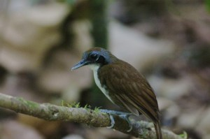 Bicolored Antbird along Pipeline Road, Panama. Photo by Michael Retter.