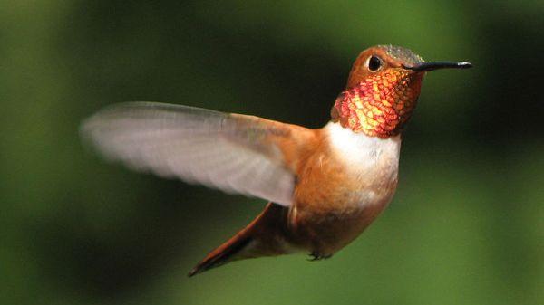 Rufous Hummingbird, photo via wikipedia