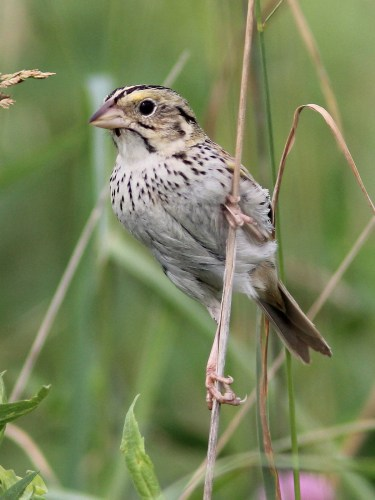 Henslow's Sparrow/Photo by Kenneth Cole Schneider via Flickr Creative Commons