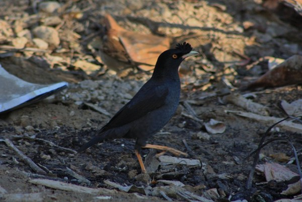 Crested Myna, here in China, was once an established species in the Vancouver, BC, area. Photo by Thomas Brown via flickr