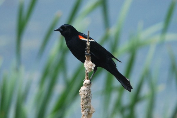 Red-winged Blackbird or RWBL, not RWBB, and certainly not Redwing! (c) Jeannette Lovitch