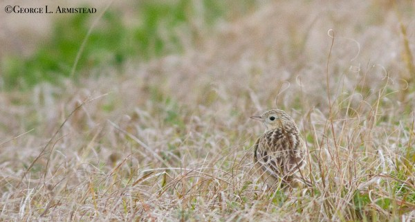 Sprague's Pipit near Welsh. One of >7 we saw this day.