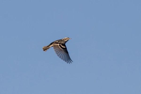 15-2-12-01 [Black-and-white Warbler, main image]