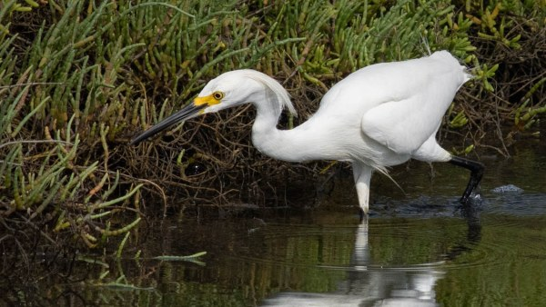 The stunning Snowy Egret, and the threat posed to it from the millinary trade, was an impetus for the Migratory Bird Treaty Act. Photo by Ingrid Taylor via flickr