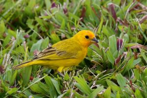 Saffron Finch, one of the yellow-finches, is now considered a tanager. It was formerly placed with the emberizids.