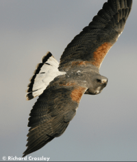 White-tailed Hawk is no longer in the genus Buteo.