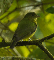 Green Manakin. Photo by Francesco Veronesi.