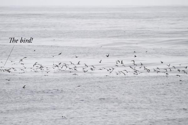 01a Bodega Bay pelagic, CA (248 of 320)-Edit