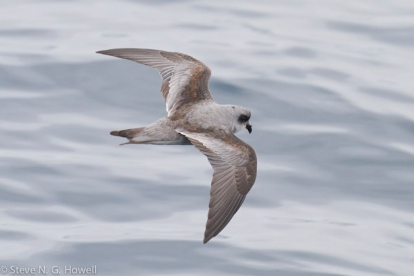 Fork-tailed Storm-Petrel.