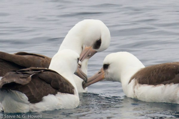Laysan Albatrosses—usually one per trip is good.