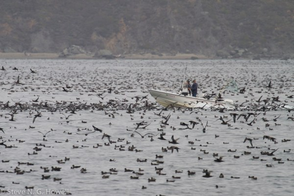 Part of the Sooty Shearwater swarm—a popular target for recreational fishermen to flush, just what the birds need when they are food-stressed and trying to complete molt before heading back to New Zealand!