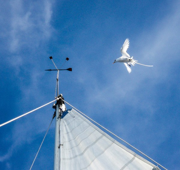 Tropicbirds are commonly reported to the Birding Aboard project, perhaps because they are  so elegant and have a habit of circling the mast. Photo ©Ellen Massey Leonard