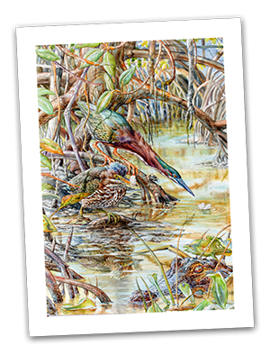 Make a donation of $150 or more to the ABA and receive this gorgeous print of the ABA's 2015 Bird of the Year by ABA member Rafael Galvez, signed by the artist