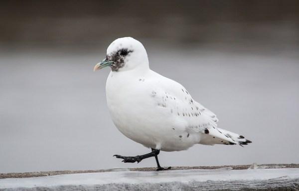 One of the Minnesota Ivory Gulls, the living one. Photo: Laura Erickson
