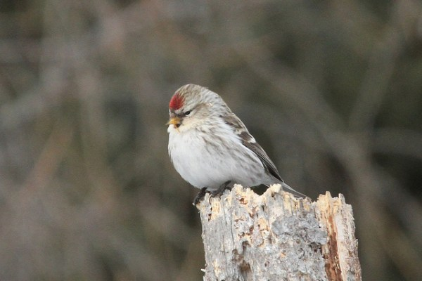 Goodbye Hoary Redpoll? Feeding stations in the far north will certainly be less exciting without you. Photo: Gregory Schecter via flickr