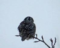 N. Hawk Owl
