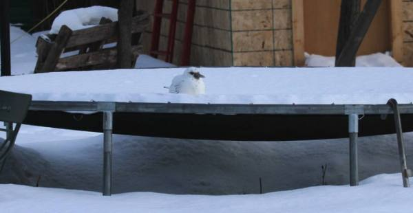 That an Ivory Gull is in Wisconsin maybe isn't that strange, but that it was in the middle of the woods sitting on a trampoline is more than a little strange. Photo: Nick Anich